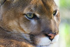 cougar Obrazy Royalty Free