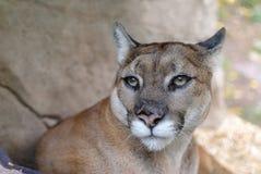 cougar Stock Foto