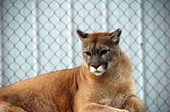 cougar Στοκ Εικόνες