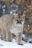 Cougar. In snowfall. Northern Minnesota Stock Images