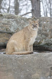 Cougar. On rock ridge in snowfall. Northern Minnesota Royalty Free Stock Image