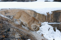 Cougar. Hunting in winter, Northern Minnesota Stock Image