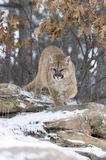 Cougar. Coming out of forest in winter.Shallow DOF focus on head Stock Photo