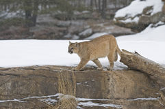 Cougar. On rock ridge in snowfall Stock Photography