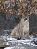 Cougar. Sitting under tree in winter Stock Photography
