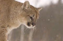 Cougar. In snowfall. Northern Minnesota Royalty Free Stock Photos
