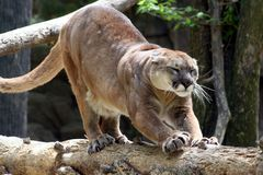 Cougar. A wild cougar Royalty Free Stock Image
