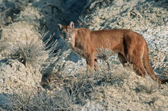 Cougar. On ridge in North Dakota Badlands Royalty Free Stock Image