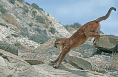 Cougar. 