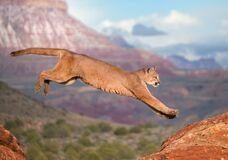Cougar Stock Image