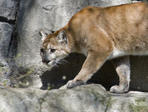 Cougar. North American Cougar on the prowl.  Captive cougar on the rocks in his habitat Stock Photo