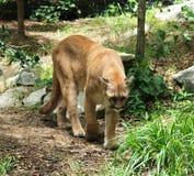 cougar Στοκ φωτογραφία με δικαίωμα ελεύθερης χρήσης