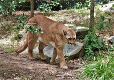 cougar Stock Afbeelding
