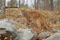 Cougar. In Northern Minnesota woods Stock Photography