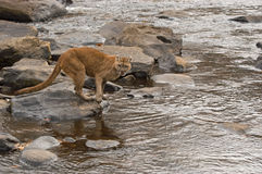 Cougar. Hunting by river in Northern Minnesota Royalty Free Stock Photo