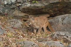 Cougar. Crouching in rock overhang Stock Images