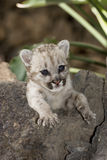 Cougar baby puma. Baby cougar in the rock Royalty Free Stock Photos