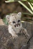 Cougar baby puma Royalty Free Stock Photos