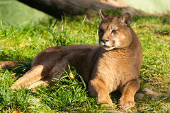 Cougar. Beautyfull female fierce cougar laying in grass royalty free stock photos