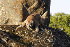 Cougar On Boulder. Young cougar lurking on moss covered boulder Stock Photography
