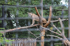Cougar on a branch royalty free stock photos