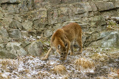 Cougar. At the Calgary zoo Stock Image