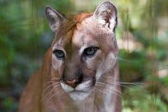 Cougar close up Stock Photography