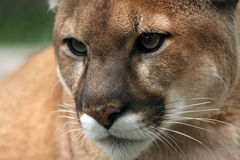 Cougar Closeup. Closeup of a Cougar with beautiful eyes Stock Photos