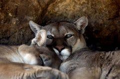 cougar concolor zwierząt puma stayleyanan Fotografia Stock