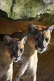 Cougar couple Royalty Free Stock Photos
