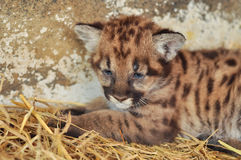 Cougar cub Royalty Free Stock Photo