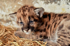 Cougar cub Stock Photos