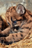 Cougar cub Royalty Free Stock Image