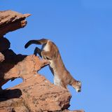 Cougar descending from the top of a wind sculpted sandstone outcrop. A cougar climbs down from the top of a wind sculpted sandstone outcrop with a clear blue Royalty Free Stock Photography