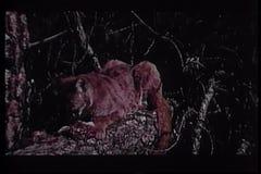 Cougar eating prey in wilderness stock video
