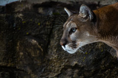 Cougar Eyes. A closeup of a mountain lion's face with rocks in the background Royalty Free Stock Image