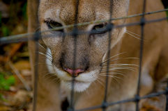 Cougar face  closeup Royalty Free Stock Photography