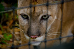 Cougar face  closeup Royalty Free Stock Photo