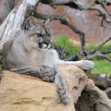 Cougar (Felis concolor), captive; Lanzarote, Spain. Adult cougar (Felis concolor) in captivity. The picture was taken in Rancho Texas zoo, Lanzarote island royalty free stock photography