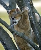 Cougar (Felis Concolor) Stuck in a Tree. Young Mountain lion (Felis Concolor) stuck up in a tree Royalty Free Stock Photo