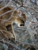 Cougar (Felis Concolor) Up a Tree. Young Mountain lion (Felis Concolor) up in a tree Royalty Free Stock Photos