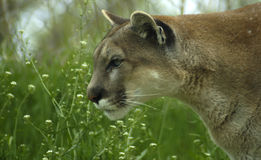 Cougar in Grass. Head and shoulder shot of a cougar in grass about to pounce on its prey Royalty Free Stock Images