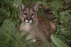 Cougar in grass Royalty Free Stock Photography