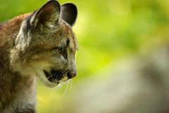 Cougar head Royalty Free Stock Photography