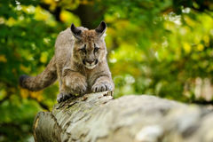 Cougar head Royalty Free Stock Images