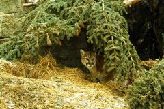 Cougar hiding. In nest at the Calgary zoo Stock Photo