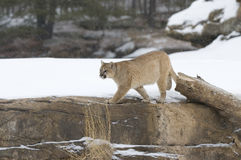 Cougar hunting. Cougar on ridge line in snowfall Stock Images