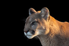 Cougar. Isolated by black background Royalty Free Stock Image