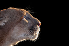 Cougar. Isolated by black background Stock Images
