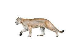 Cougar isolated over a white background Royalty Free Stock Image
